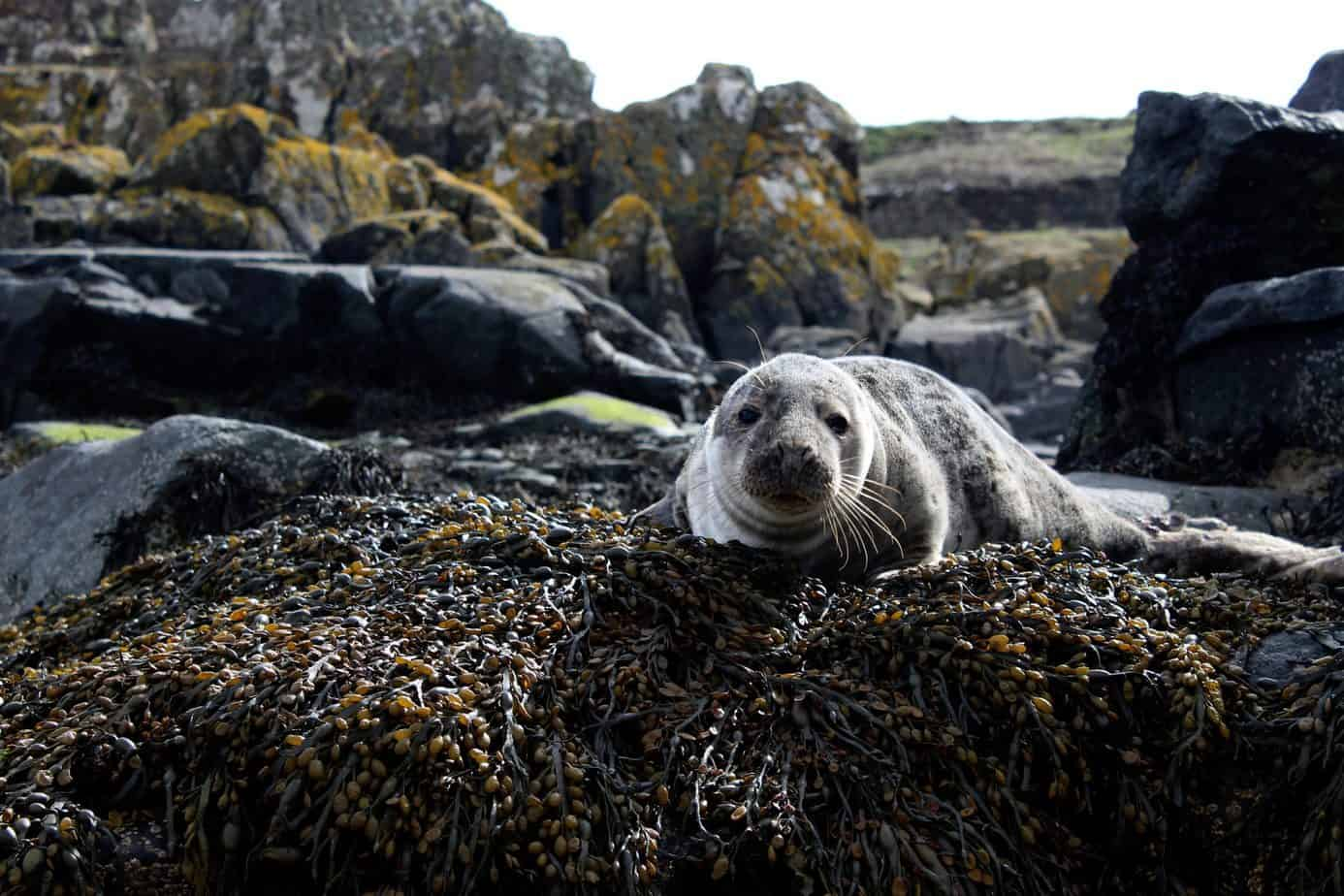 Eco SUP tours see grey harbor seal on seaweed covered rock